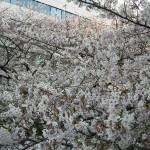 一番密集していた桜の花たち