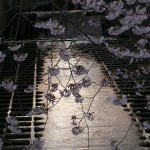 川の水の上の桜