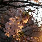 夕暮れの桜たち