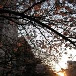 ビルの前の桜