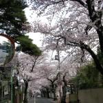 桜並木がキレイ