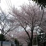 桜並木を反対向きに見てみる。