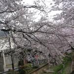バス道から一筋入った、遊歩道のある川沿いの桜