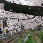 川面と桜の相性はとてもいい