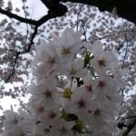 満面の笑みのような桜の花たち